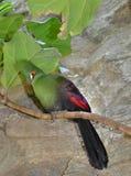 Turaco Гвинеи на ветви Стоковые Фото