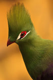 Turaco. S are medium-sized arboreal birds endemic to sub-Saharan Africa, living in forests, woodland and savanna Stock Image