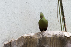 Turaco bird. Bird with long tail, bright color medium size. Inhabits the forests of Africa. It feeds on juicy fruits Stock Images