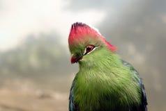 Turaco bird Stock Photo