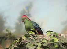Turaco bird Royalty Free Stock Photo