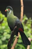Turaco blanc-cheeked Photo stock