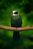 Turaco Blanco-con cresta, leucolophus del Turaco, pájaro verde coloreado raro con la cabeza blanca, en hábitat de la naturaleza T Foto de archivo