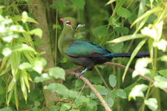 Turaco de Livingstone Photographie stock