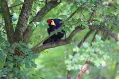 Turaco de Madame Ross Photo stock