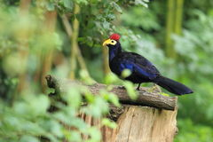 Turaco de Ross Photo libre de droits