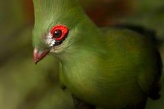 Turaco della Guinea Fotografia Stock