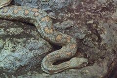 Turan直言引导了蛇蝎(Macrovipera lebetina turanica) 库存照片