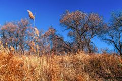 turanga一棵罕见的树在国家储备Altyn-Emel的哈萨克斯坦沙漠干草原的  库存图片