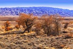 turanga一棵罕见的树在国家储备Altyn-Emel的哈萨克斯坦沙漠干草原的  免版税库存照片