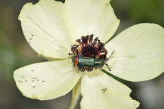 Turban Buttercup with Common Malachite Beetle Royalty Free Stock Image