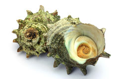 Turban shell Royalty Free Stock Image