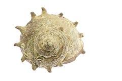 Turban shell Royalty Free Stock Photo