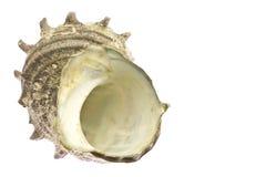 Turban shell Royalty Free Stock Photography