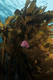 Turban shell on brown kelp. Cook's turban shell Cookia sulcata covered with pink coralline algae crawling on fronds of brown stalked kelp Ecklonia radiata in stock photo