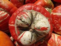 Turban squash, Cucurbita maxima Royalty Free Stock Photo