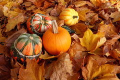 Turban squashes, pumpkin and gourds on crisp autumn leaves Stock Images