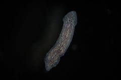 Turbellaria Flatworms Planaria by microscope. Freshwater microscopic wild nature and aquarium inhabitant Stock Images
