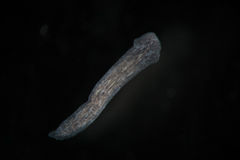 Turbellaria Flatworms Planaria by microscope. Freshwater microscopic wild nature and aquarium inhabitant Stock Photo
