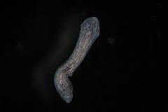 Turbellaria Flatworms Planaria by microscope. Freshwater microscopic wild nature and aquarium inhabitant Stock Image