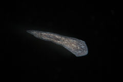 Turbellaria Flatworms Planaria by microscope. Freshwater microscopic wild nature and aquarium inhabitant Royalty Free Stock Photography