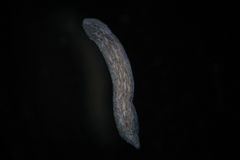 Turbellaria Flatworms Planaria by microscope. Freshwater microscopic wild nature and aquarium inhabitant Royalty Free Stock Images