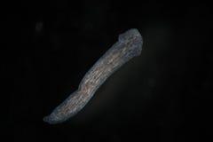 TurbellariaFlatworms Planaria vid mikroskopet Sötvattens- mikroskopisk lös natur- och akvariuminvånare Arkivfoto