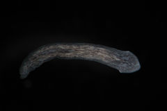 TurbellariaFlatworms Planaria vid mikroskopet Sötvattens- mikroskopisk lös natur- och akvariuminvånare Arkivfoton