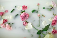 Milk in bath with roses. Turbid soapy water in bath with pink and white roses and petals viewed from above in full frame Royalty Free Stock Image
