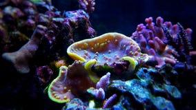 Turbinaria-Langspielplatten korallenrot im Riffaquariumbehälter Stockfotos
