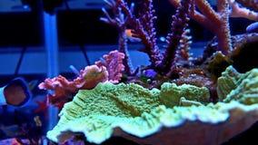 Turbinaria-Langspielplatten korallenrot im Riffaquariumbehälter Stockfoto