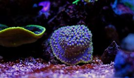 Turbinaria-Langspielplatten korallenrot im Riffaquariumbehälter Stockbilder