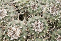 Turbinicarpus仙人掌 库存图片