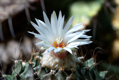 Turbinicarpus laui Royalty Free Stock Image