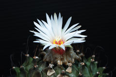 Turbinicarpus laui Royalty Free Stock Photo