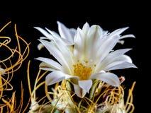 Free Turbinicarpus Pseudomacrohele Stock Photos - 40943563