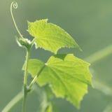 Turbinii e viticci del cetriolo delle piante Fotografia Stock Libera da Diritti