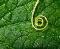Turbinio della pianta sopra il foglio verde Fotografie Stock Libere da Diritti