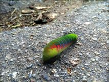 Turbo caterpillar. unique. autumn coloring. Life in colors. A huge green caterpillar. caterpillar on the road. Indian summer. September. Warm autumn. It will royalty free stock photos
