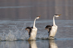 Turbo Love. Western Grebes performing the culmination of their courtship display rushing on the surface of the lake Stock Photos