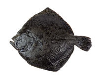 Turbot fish Stock Image