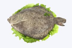 Turbot ( fish ). End lettuce stock photos