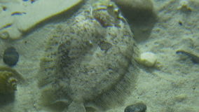 Turbot Fish at Deep stock video