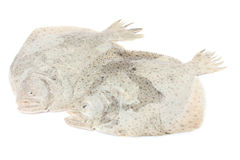Turbot fish Royalty Free Stock Images