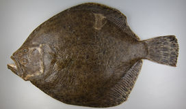 Turbot on grey background, fish Stock Photo
