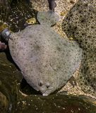 Turbot laying next to some other turbots, popular flatfish, Near threatened animal specie. A turbot laying next to some other turbots, popular flatfish, Near stock image