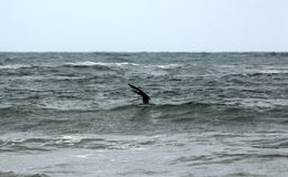 Cormorant Phalacrocorax carbo above the stormy sea waves royalty free stock images