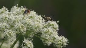 Turbulent life on a flower of umbelliferae plant: flys, wasps, beetles. Pair of beetles  are copu. Turbulent life on a flower of umbelliferae (Apiaceae) plant stock footage
