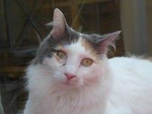 Turc Van Cat Images libres de droits