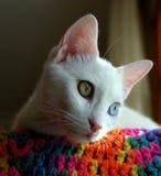 Turc Van Cat Photo stock